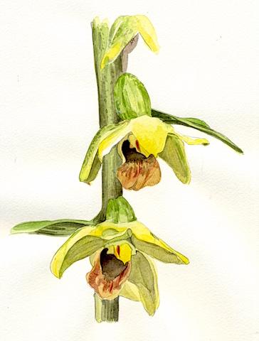 Epipactis.orchidea