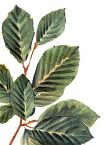 Faggio.foglie