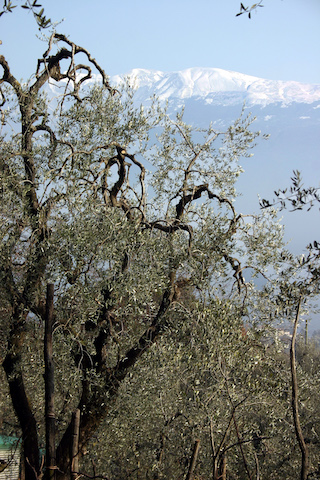 ulivi-baldo