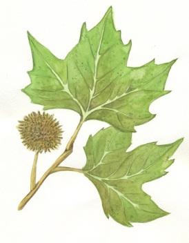 Platano.foglie